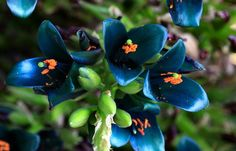 20 Puya Berteroniana Blue Fresh Rare Flower Seeds | Alpestris Sapphire Tower Giant Bromeliad Vibrant Turquoise | Home Garden Decor Plant