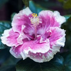 Hybrid Hibiscus | Flickr - Photo Sharing!