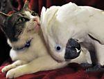A cacatua Coco e o gato Lucky, de um casal norte-americano, se tornaram grandes amigos; há vídeos dos dois disponíveis na internet Leia Mais