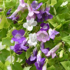 Lejongapsranka. Rikblommande slingerväxt med 3-4 cm stora, violblå, rosa och vita blommor. Odlas i spaljé eller liknande på varmt, lugnt växtläge. På inglasade altaner och liknande kan blomningen pågå ända till november-december.