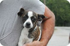 Adopted! Pittsburgh, PA - Boston Terrier Mix. Meet Molly, a puppy for adoption. Boston Terrier Mix Color: Black - With White Age: Puppy Size: Small 25 lbs (11 kg) or less Sex: Female ID#: 1269 http://www.adoptapet.com/pet/11459174-pittsburgh-pennsylvania-boston-terrier-mix