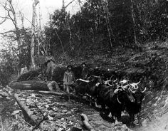 A team of cattle pulls a log down a hill