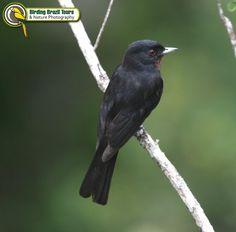 Caatinga black tyrant (Knipolegus franciscanus)