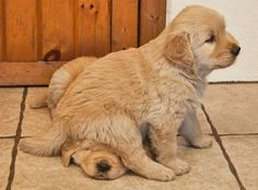 no biggie just a puppy sitting on another puppy's head .. Golden Retriever puppies