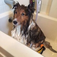 87 best images about Shelties!