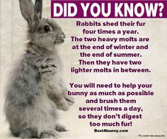 Always brush your rabbit on a regular basis, but when they are molting, brush them several times a day. This stops them digesting fur. www.best4bunny.com
