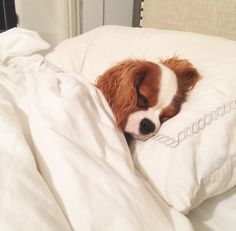 Cavalier King Charles Spaniel – Graceful and Affectionate Cavalier King Spaniel, Cavalier King Charles Dog, Cute Dogs And Puppies, Baby Dogs, Doggies, Pet Dogs, Cute Funny Animals, Cute Baby Animals, Spaniel Puppies