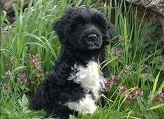 Portuguese Water Dog puppy with flowers.