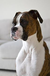 A strong contender. We had two boxers in my parents home. Sweetest dogs ever!