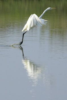 white heron take off