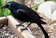 Native American Zodiac Animal: Crow (Raven) Sep 22 - Oct 22