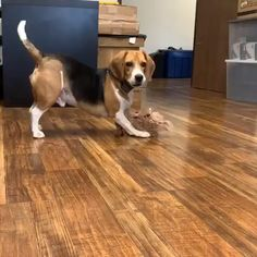 Are you interested in a Beagle? Well, the Beagle is one of the few popular dogs that will adapt much faster to any home. Beagle Funny, Cute Funny Dogs, Beagle Dog, Cute Funny Animals, Cute Baby Animals, Funny Kittens, Puppy Husky, Mastiff Puppies, Boxer Puppies