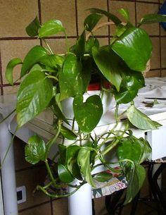 Pothos o potos o Scindapsus - Araceae - Coltivazione del pothos o potos o Scindapsus - www.elicriso.it