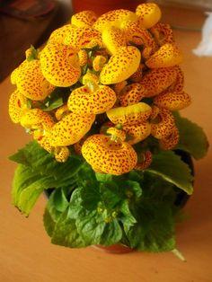Calceolárias - Imagens de Flores  #calceolarias #flores #imagensdeflores @imagensdeflores  https://www.facebook.com/ImagensdeFlores