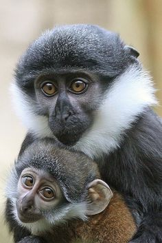 Mother and baby L'Hoest's or Mountain Monkey, found in the upper eastern Congo basin.