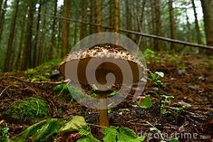 Photo about Big mushroom in natural habitat forest in Norway hunt for Food great taste parasol. Image of taste, forest, botany - 108901735 Mushroom Pictures, Botany, Habitats, Norway, Stuffed Mushrooms, Big, Natural, Image, Food