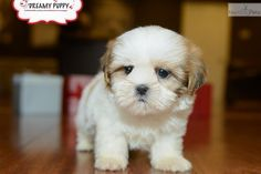 SWEET TOY SHIH TZU PUPPY AVAILABLE NOW! | Shih Tzu puppy for sale near Washington DC | da9d0267-ef91