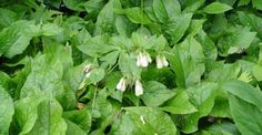 Symphytum grandiflorum op vasteplant.be