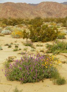 brittle bush, Little San Bernardino Mountains, Lupine Howl and creosote bush.
