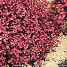 Saxifraga × arendsii 'Purple Robe': Mossy Saxifrage Forms a low cushion of green leaves bearing short stems of upfacing, carmine-red flowers in spring. Requires a cool, moist location. Dislikes drought and hot, humid summer weather. Trim lightly after flowering to remove the flower stems. Adapts well to growing in clay pots or alpine troughs. Evergreen.