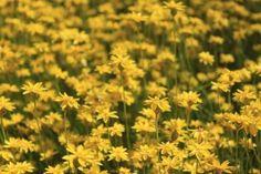 Schoenia-filifolia-flowers-