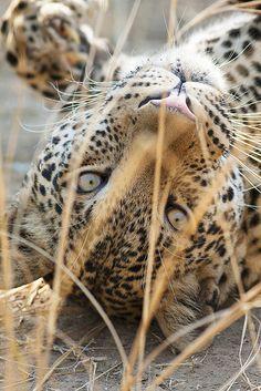 "Africa | ""Upside down"". Leopard, South Luangwa National Park, Zambia | ©Sarah Joy Landon"