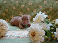 teacup piglets - This one is special! Teacup Piglets, Baby Piglets, Tiny Pigs, Pet Pigs, Animals And Pets, Baby Animals, Cute Animals, This Little Piggy, Little Pigs