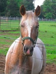 Dolly is an adoptable Appaloosa Horse in Meherrin, VA. Dolly has been with us here at Never Ends Farm Animal Sanctuary since her birth. Mother is Appoloosa, father is Paint. They both have papers an...