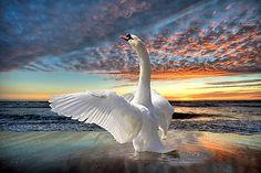 Swan - (The Ocean ) by NewfieKeith ~~ Beautiful Swan, Beautiful Birds, Animals Beautiful, Cute Animals, Cool Pictures, Beautiful Pictures, Animal Totems, All Gods Creatures, Swan Lake