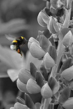 black, white flower with yellow bee - ☯ www.pinterest.com/WhoLoves/Black-White-Color ☯ #black #white #color #art