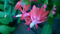 Assim como as orquídeas, a flor de maio pode ser colocada em troncos de árvores. A planta precisa de uma boa iluminação mas nunca luz direta do sol. A rega deve ser de tal forma que o substrato nunca fique ressecado. Adubo rico em fósforo ajuda na floração.