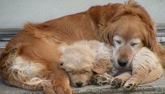 Golden Retriever Puppy Pet Dog Puppies For Sale in NY | Want Ad Digest Classified Ads