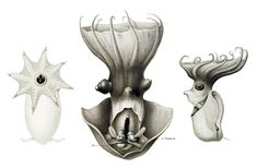 Vampyroteuthis infernalis -- Dissected adult (center) and two immature specimens,  from Thiele in Chun, C. 1910. Die Cephalopoden. url by Ewald Rübsamen