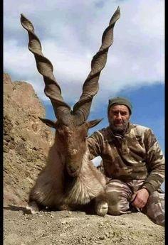 Markhor goat, the national animal of Pakistan.