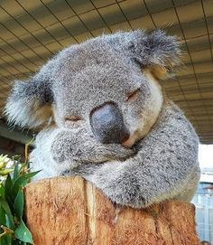 Sleeping Koala🐨💤 At the quite a few koalas are admitted with a bacterial disease called Chlamydia. There are 2 species of Chlamydia that can infect koalas (with many. Cute Baby Animals, Animals And Pets, Funny Animals, Wild Animals, Photo Chat, Australian Animals, Tier Fotos, Cute Animal Pictures, Amazing Pictures