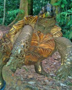 Jungle Treks & Tours from Bukit Lawang N. Sumatra - Experience Wild Jungles, Breathtaking Landscapes and Authentic Culture with TrekSumatra Gunung Leuser National Park, Orangutan, Turtles, Reptiles, Trek, Asia, Pets, Tortoises, Turtle
