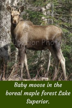 A baby moose on a sunshine spring day in the northern boreal maple forest of trees. Meditation Prayer, Neuroplasticity, Lake Superior, Spring Day, Moose, Sunshine, Spirituality, Trees, Faith