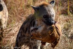 A hyena picks up the scraps from a lion battle scene.