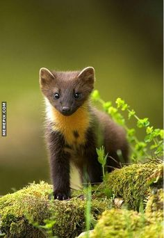 1000 images about marten pinemarten pine martens american marten nilgiri on pinterest. Black Bedroom Furniture Sets. Home Design Ideas