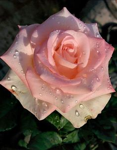Dew drops on beauty Pretty Roses, Beautiful Roses, Blue Roses, White Roses, Tropical Tattoo, Chocolate Roses, Rosa Rose, Beautiful Flowers Wallpapers, Flower Pictures