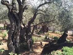 What I Learned From The Olive Tree Experience the Holy Land without having to leave home!