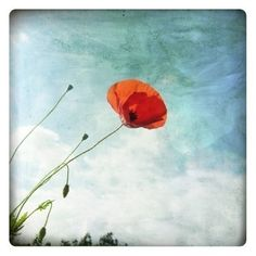 Coquelicot Nature Photography  Fine Art Print  Poppy by labokoff