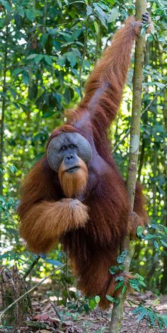 """""""Oh, nothing much, just hanging around.""""You can find Primates and more on our website.""""Oh, nothing much, just hanging around. Primates, Mammals, Nature Animals, Animals And Pets, Cute Animals, Orangutan Monkey, Male Orangutan, Bornean Orangutan, Le Zoo"""