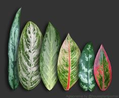 House Plant Journal: Aglaonema (chinese evergreen). Great indoor low light plant