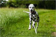 dalmatians and summer | Recent Photos The Commons Getty Collection Galleries World Map App ..