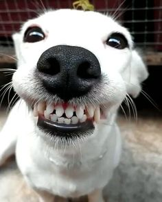 Here you'll find super cute dogs and puppies that look like they are having a great time. These pictures of dogs smiling will melt your heart! Smiling Animals, Smiling Dogs, Animals And Pets, Baby Animals, Funny Animals, Cute Animals, Animal Fun, Funny Animal Pictures, Dog Pictures