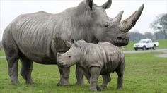 Watch: Dramatic Footage Of Baby White Rhino Saved With CPR