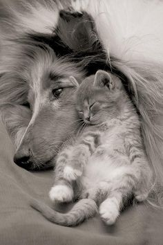 For the Love of Dogs & Cats...Collie and cute kitten. :) So dang cute!