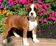 This Boxer is raised with children and she is a playful little gal who is always up for an adventure. If you are looking for a very social and fun-loving Boxer Dogs For Sale, Baby Boxer Puppies, Beagles For Sale, Beagle Puppy, Cute Puppies, Cute Dogs, Dogs And Puppies, Cute Babies, Cute Animal Pictures