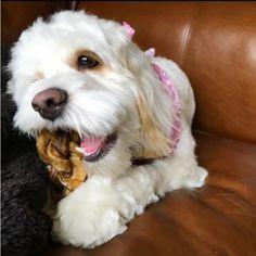 stellawithfreckles enjoying our Redbarn Bully Braid! Small Dogs ad941887b